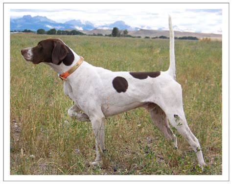 bird dogs jim heckert kennels pointers and bird