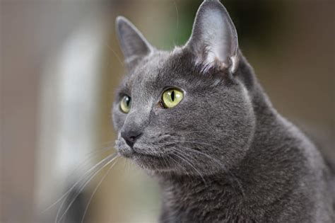 Korat   Cats   Breed Information   Omlet