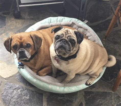 pug rescue nsw pug rescue profile pug patrol rescue australia the pug diary