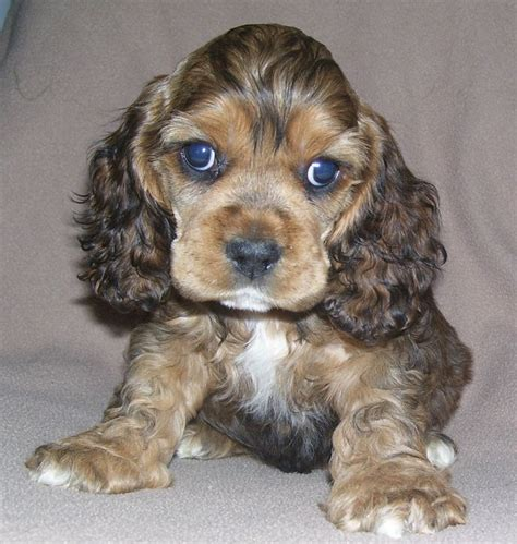 springer spaniel puppies for sale midwest the 25 best cocker spaniel poodle ideas on cocker spaniel poodle mix
