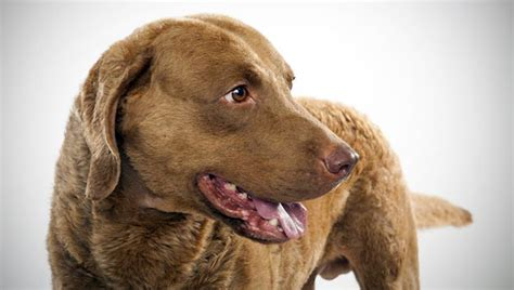 chesapeake bay golden retriever chesapeake bay retriever breed selector animal planet