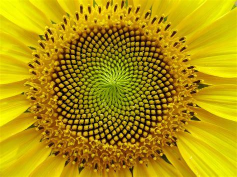 Randomnies Sunflower The Fibonacci Sequence Golden Section