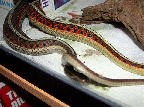 Garter Snake Giving Birth Garter Snake Giving Birth 2002 Flickr Photo