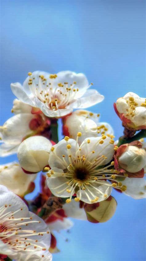 undefined blooming flowers flower wallpaper blooming cherry flowers mobile wallpaper hd phonewallpapers