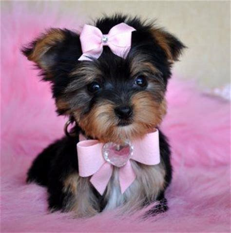 teddy teacup yorkie 1000 ideas about teddy puppies on puppy shichon puppies for
