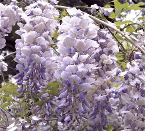 blue moon wisteria plant library pahl s market apple valley mn