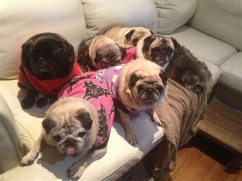 of pugs called how to get rid of a bad day in 2 minutes or less