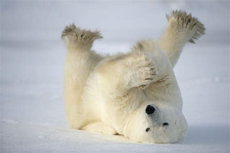 what color is a polar bears fur polar fur color the