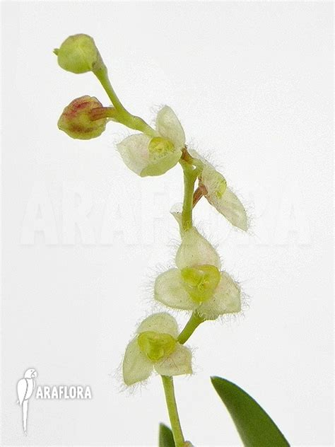 Panci Kalakat 40 Cm Orchid Limited 1 araflora flora more orchid stelis eublepharis