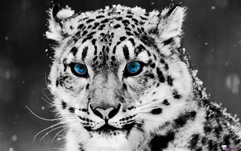 tiger wallpaper black and white hd white tiger wallpapers hd wallpaper cave
