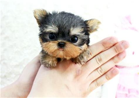 yorkie babies for free lovely and adorable yorkie puppies for free adoption