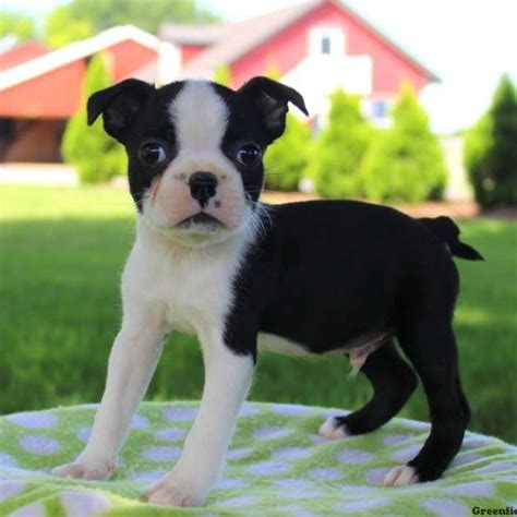 boston terrier puppies boston terrier puppies for sale greenfield puppies