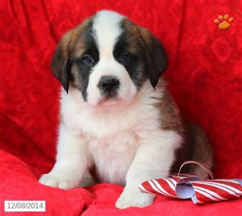 bernard puppies for sale in pa 25 best ideas about st bernard for sale on bernard puppies st