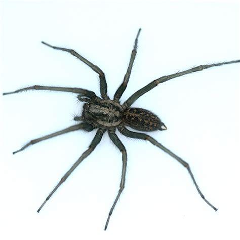 House Spider by House Spider Eratigena Atrica Bugguide Net