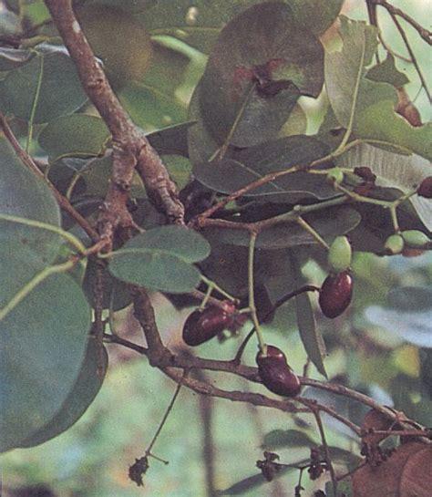 anonas fruit tree anonas