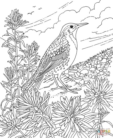 coloring page indian paintbrush meadowlark and indian paintbrush wyoming state bird and
