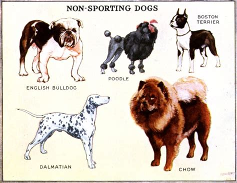 non sporting dogs non sporting dogs homesteading products and charts