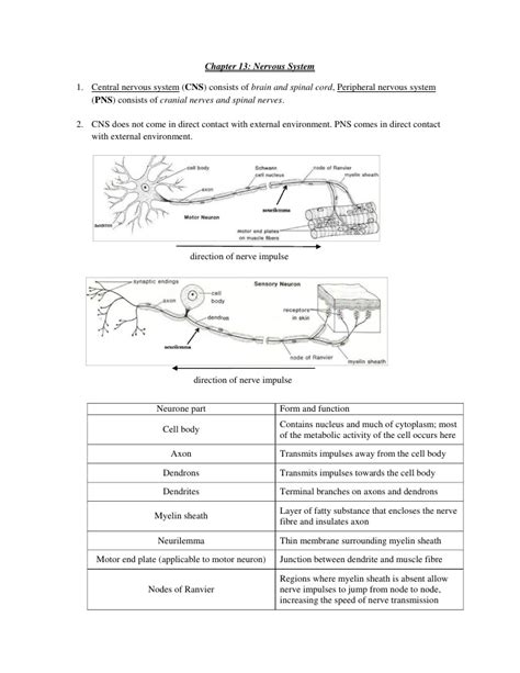 How The Nervous System Works Worksheet Answers by How The Nervous System Works Worksheet Letravideoclip