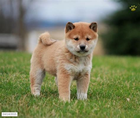 shiba inu puppies for sale in ny 39 best shiba inu puppies images on puppies for sale pennsylvania and