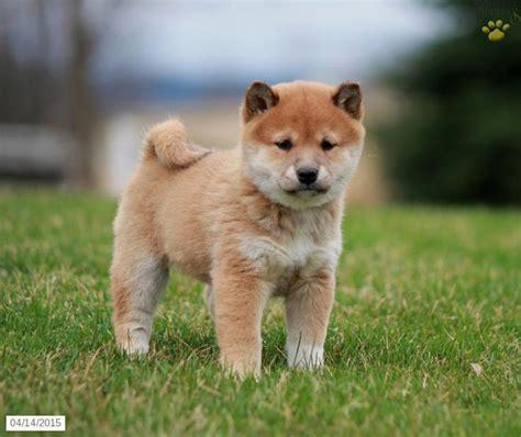 shiba inu puppies for sale nyc 39 best shiba inu puppies images on puppies for sale pennsylvania and