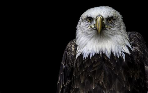 black eagle hd wallpaper eagle with black background bird hd wallpapers