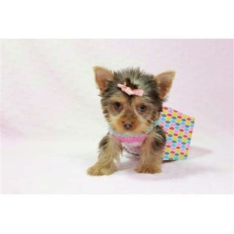 puppies financing available terrier yorkie puppies and dogs for sale and adoption page 1
