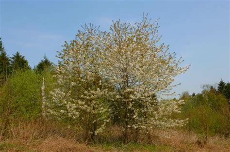 cherry tree species cherry