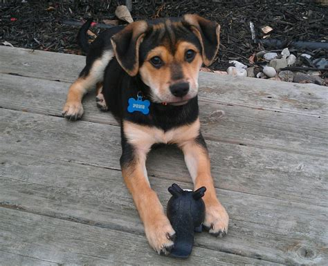 beagle german shepherd mix beagle german shepherd cutie just plain