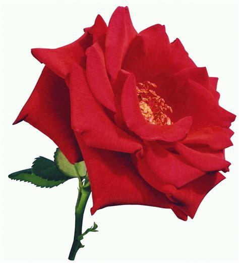 Mawar Merah Hati bunga ros merah si dia harris gallery