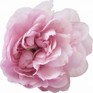Розы композиция для рисунка