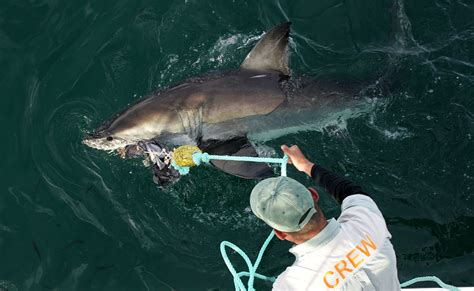 joyride shark attack south africa 2014 great white shark numbers are surging study says aol com