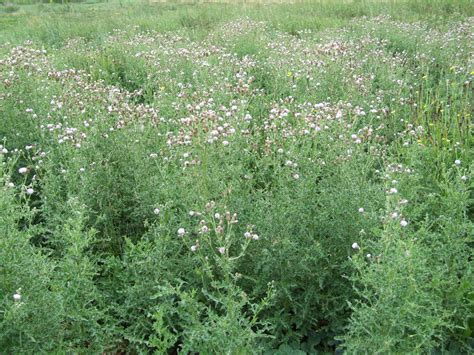 Call Lookup Canada Canada Thistle Department Of Agriculture And Aquaculture