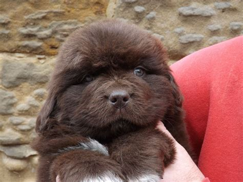 brown newfoundland puppies for sale brown newfoundland puppy kc reg northallerton pets4homes