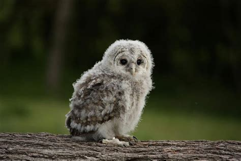 baby owl zoe bowden flickr