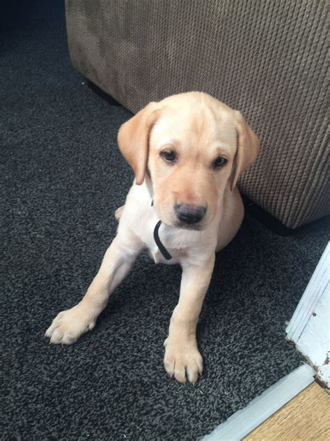 9 week lab puppy 9 week labrador puppy hugo doncaster south pets4homes