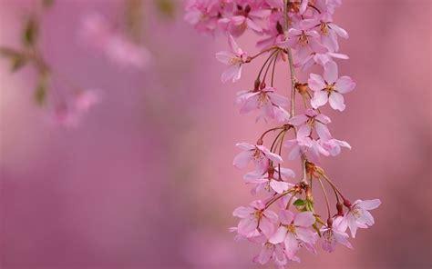 imagenes flores de cerezo cerezo flores de la floraci 243 n rama macro primavera fondos
