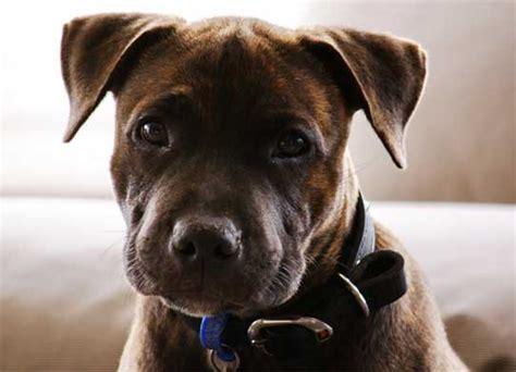 ley de razas de perros peligrosos boo the dogs perros peligrosos razas y caracter 237 sticas leyes para