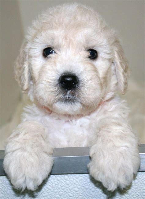 labradoodle puppies for sale by reputable dog breeders goldendoodles english goldendoodle puppy breeder