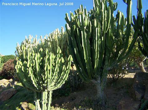 cactus candelabro cactus candelabro de transvaal euphorbia cooperi