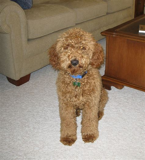 puppy doodle doodle dogs info temperament puppies pictures