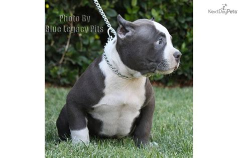 dogs 101 pitbull animal planet dogs from 101 like the pit bull image breeds picture