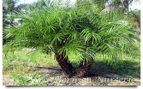 Plants For Patios In The Shade by Pygmy Palm Naples