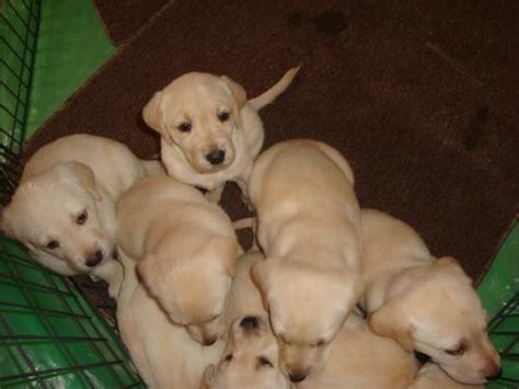 yellow labrador puppies for sale yellow lab puppies for sale g c scheer inspections and testing llc
