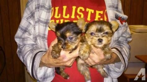 teacup yorkie tennessee teacup yorkie for sale in blountville tennessee classified americanlisted