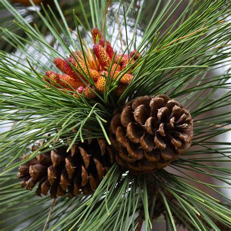 pinecone tree ponderosa pine cones photograph by karon melillo devega
