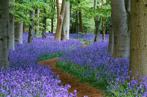 bluebell forest bluebell free wallpapers