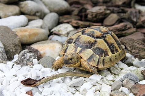 lada per tartarughe di terra tartarughe di terra prezzo guida all acquisto