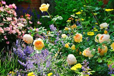 cottage garden roses growing roses in ohio from blah lawn to backyard
