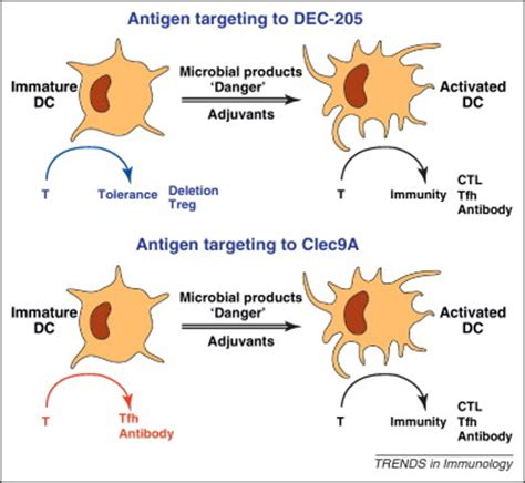 frontiers antibody targeting of steady targeting of antigen to dendritic figure 2 targeting