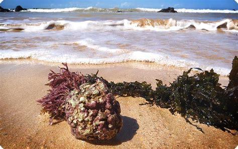 algas calcareas side effects about algaecal